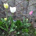 Tulpen Nr.20